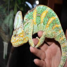 Йеменский хамелеон — содержание и уход в квартире