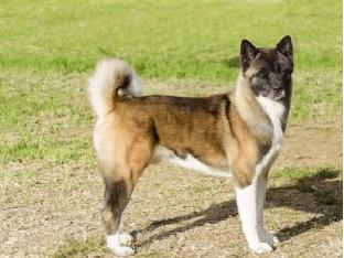 Американская акита и её содержание   Уход за собакой