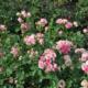 Что такое роза спрей: описание, популярные сорта