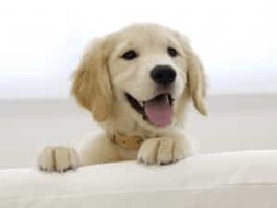 Достоинства и описание породы лабрадор. Выбор щенка.