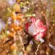Как подготовить розы к зиме: осенний уход за цветами