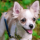 Как правильно ухаживать за собакой породы чихуахуа?