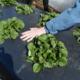 Клубника под пленкой: как правильно посадить под черный укрывной материал