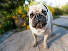 Порода мопс: описание, характер и особенности ухода
