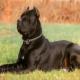 Порода собак кане-корсо итальяно: как вырастить из щенка телохранителя, друга и няню для детей
