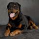 Порода собак ротвейлер: описание, плюсы и минусы, характер, уход и содержание, чем кормить, стандарты, история