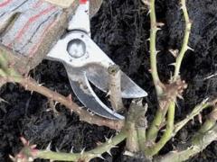 Правила обрезки роз весной для начинающих