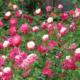 Правила посадки и ухода за розами Дабл Делайт