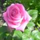 Роза Аква: выращивание и уход в вашем саду