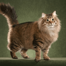 Русская сибирская кошка: описание и характеристика породы
