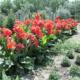 Цветок канна: посадка и уход