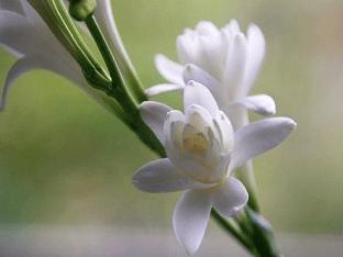 Тубероза: посадка и уход в открытом грунте, особенности выращивания и рекомендации