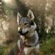 Волкособ: описание, характер, цена собаки-волка