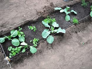 Выращиваем белокочанную капусту на огороде