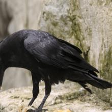 Приснилась ворона, к чему снится ворона, узнать значение сна