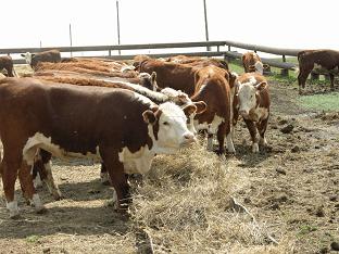 Видеть во сне стадо коров