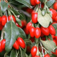 Дереза обыкновенная (ягоды годжи): посадка и уход