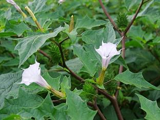 Как правильно выращивать цветы дурман?