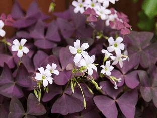 Секреты выращивания кислицы в домашних условиях