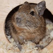 Белка Дегу – уход и содержание в домашних условиях