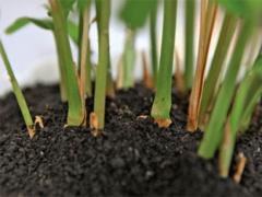 Имбирь – выращивание на даче своими руками