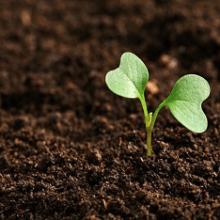 Как правильно выращивать рассаду капусты?