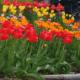 Как сажать тюльпаны весной в грунт, чтобы они начали цвести: посадка и уход