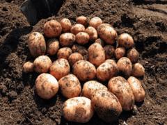 Как ухаживать за картофелем, чтобы сорт «Аврора» дал хороший урожай