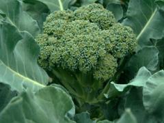 Особенности выращивания капусты брокколи