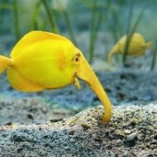 Рыбка Нильский слоник или или Рыба-слон