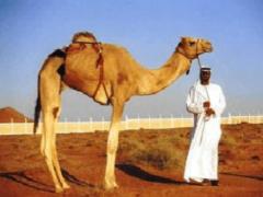 Сонник Верблюд, к чему снится Верблюд во сне видеть