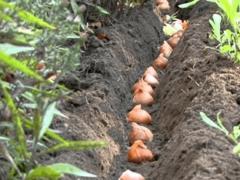 Тюльпаны выращивание и уход когда выкапывать?