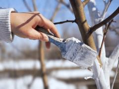 Весенняя побелка плодовых деревьев. Правила, сроки. Подготовка, приготовление побелочных растворов