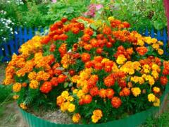 Бархатцы — выращивание из семян, когда сажать, посадка и уход