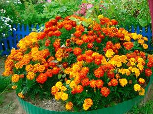 Бархатцы - выращивание из семян, когда сажать, посадка и уход