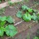 Как сажать и выращивать кабачки?