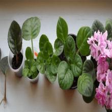 Как выращивать фиалки в домашних условиях?