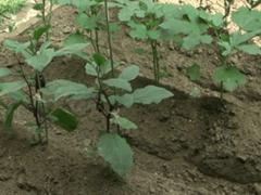 Как вырастить баклажаны: важные нюансы посадки и ухода