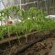 Как вырастить помидоры в теплице — пошаговая инструкция!