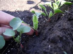 Как вырастить редиску. Как выращивать редис.