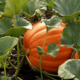 Как вырастить тыкву на своем участке?