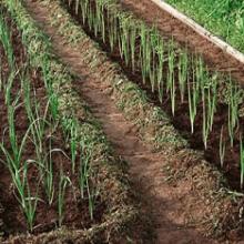Лук порей: когда сажать, выращивание в открытом грунте, как правильно посадить?