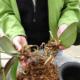 Можно ли рассаживать орхидеи?