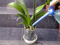 Особенности полива орхидей, как поливать орхидею?