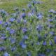 Почему пчеловоды предпочитают синяк обыкновенный?