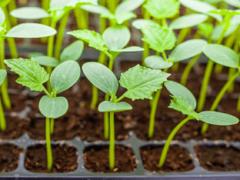 Посадка огурцов на рассаду в домашних условиях: правила выращивания и ухода