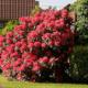 Посадка рододендронов весной и осенью: уход и выращивание