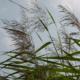 Тростник обыкновенный: описание, применение