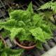 Выращивание комнатного папоротника: посадка и уход за нефролеписом