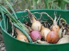 Где и как хранить лук правильно зимой?